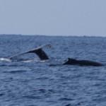 絶好調!クジラ、ギンガメ、マグロ、トビエイ