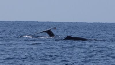 20120327-06ザトウクジラの子供2頭