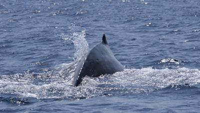 20120327-08ザトウクジラ