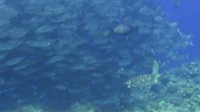 20120406-05足のないアオウミガメ