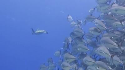 20120407-01ギンガメに追われるアオウミガメ