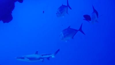 20120408-01ロウニンアジとサメのコラボ