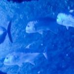 【超迫力】巨大ロウニンとサメのコラボ