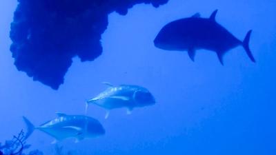 20120408-04ロウニンアジの群れ