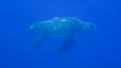 20120409-04アカウミガメ