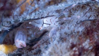 20120410-05アミメベニサンゴガニ