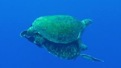 20120414-01アオウミガメの交尾