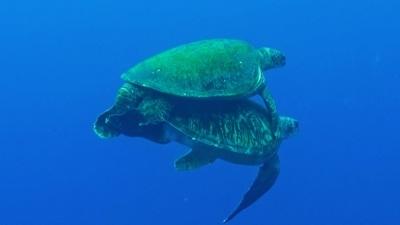 20120414-02ウミガメの交尾