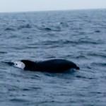 オキゴンドウ(クジラ)の大群に遭遇!