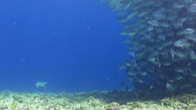 20120416-04ギンガメとタイマイ