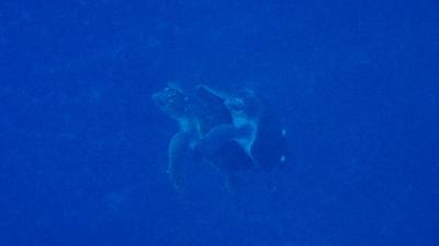 20120420-04アカウミガメの交尾