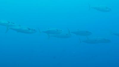 20120501-05イソマグロの大群