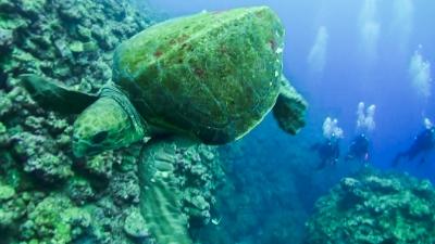 20120501-07アカウミガメ