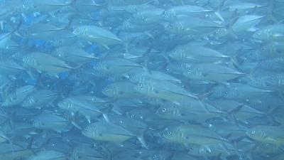 20120502-01ギンガメアジ