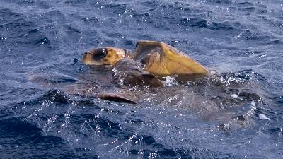 20120503-03アカウミガメの交尾