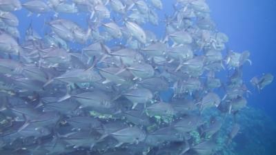 20120503-08ギンガメアジ