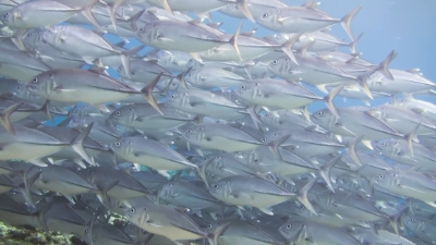 20120503-09ギンガメアジ
