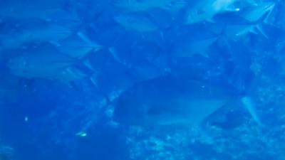 20120505-04巨大ロウニンアジ
