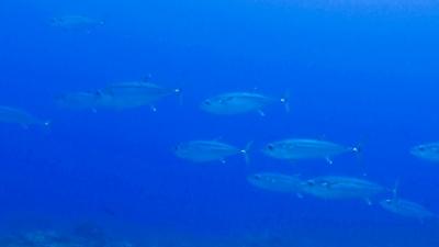 20120508-06イソマグロの大群