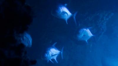 20120510-04巨大ロウニンアジ