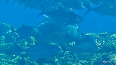 20120525-01ギンガメに混ざるロウニンアジ