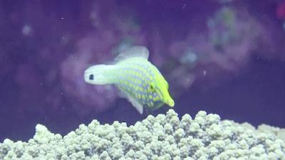 20120526-06テングカワハギ