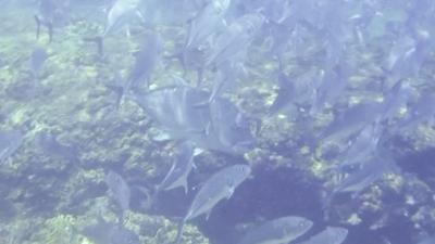 20120527-01ギンガメアジとロウニンアジ