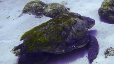 20120529-05アカウミガメ