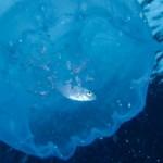 クラゲウオ(イボダイ)の幼魚