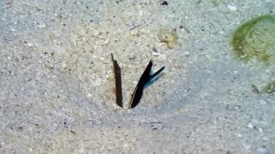 擬態中のハナヒゲウツボ幼魚