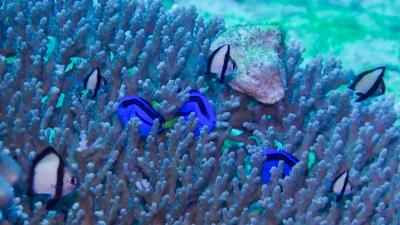 サンゴに隠れる幼魚