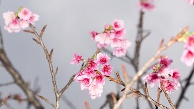 桜咲く大晦日