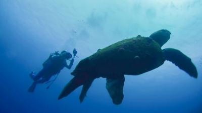 アカウミガメとダイバー