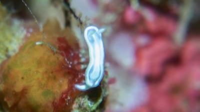 ウスフジイロウミウシ