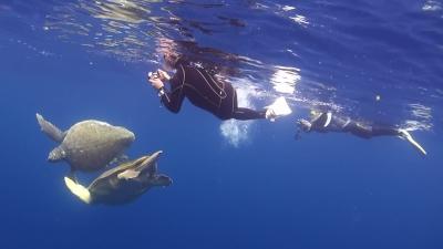 アカウミガメの求愛