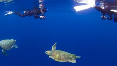 アカウミガメの求愛とダイバー