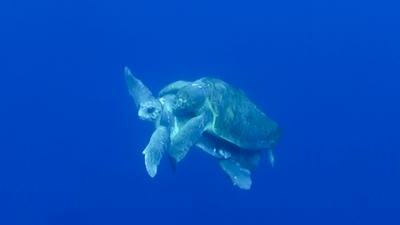 アカウミガメの交尾