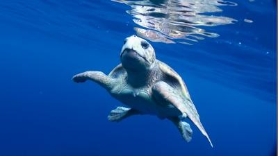 水面下のアカウミガメ
