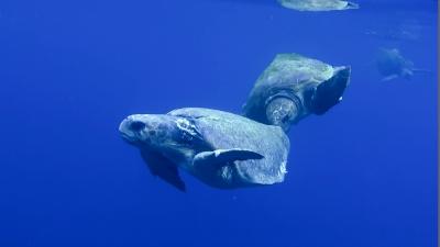アカウミガメのメスを奪い合うオス