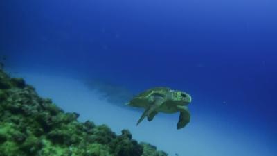 アカウミガメとイソマグロ