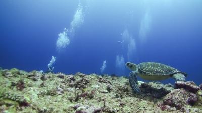 クリーニング中のアオウミガメ