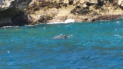 アオウミガメの交尾