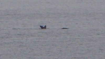 ザトウクジラのペアー