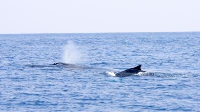 GW明けのザトウクジラのブロウ