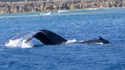 ホエールウォッチング沖永良部ザトウクジラの親子