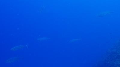 ウミガメとイソマグロ