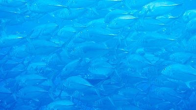 ギンガメアジの大群