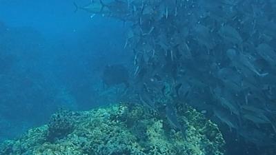 ロウニンアジとギンガメ
