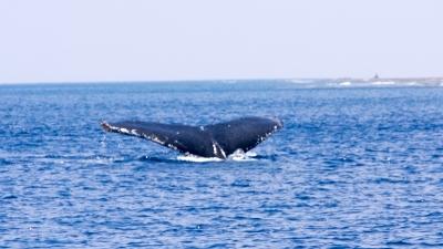GW明けのザトウクジラの親