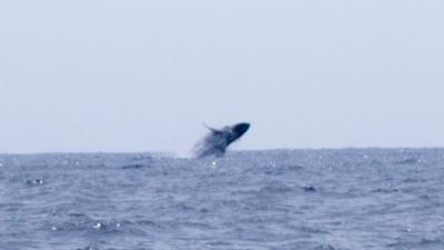 ゴールデンウィークのザトウクジラ